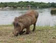 Ugandischer Pumba im Nationalpark
