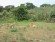Löwen zu sehen ist eine Seltenheit. Es gibt nur noch 130 im Nationalpark